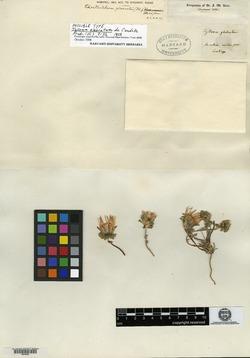 Chaetanthera glabrata image