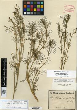 Image of Tagetes coronopifolia