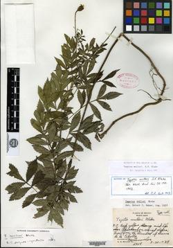 Image of Tagetes mulleri