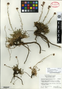 Image of Tanacetum bajacalifornicum