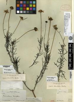 Image of Heliomeris tenuifolia