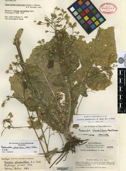 Image of Acourtia glandulifera