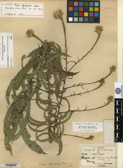 Image of Acourtia lepidopoda