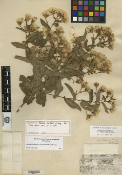 Image of Acourtia oxylepis