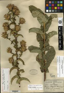 Image of Acourtia pringlei