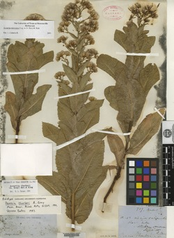 Acourtia thurberi image