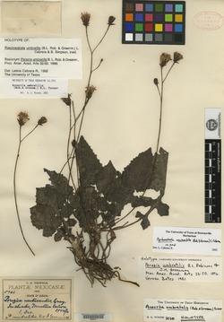 Image of Acourtia umbratilis