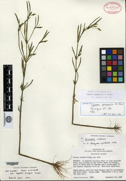 Image of Tagetes epapposa