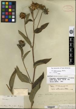 Image of Aldama subcanescens