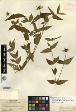 Image of Zinnia palmeri