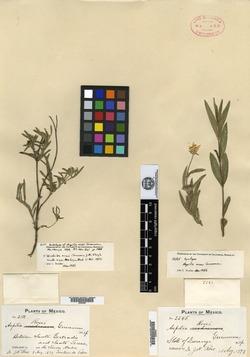 Image of Aspilia rosei