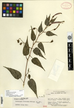 Centropogon floricomus image