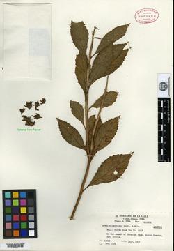 Image of Lobelia cacuminis