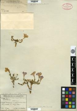Image of Bouchetia arniatera