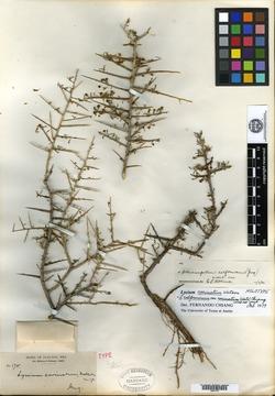 Image of Lycium carinatum