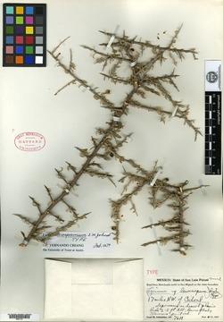 Image of Lycium leiospermum
