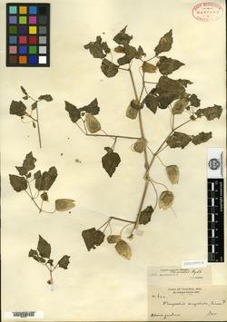 Physalis crassifolia var. versicolor image