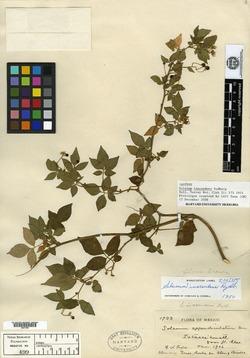 Image of Solanum appendiculatum