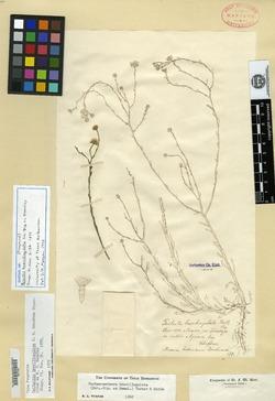 Psilactis brevilingulata image