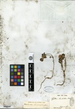 Chaetanthera limbata image