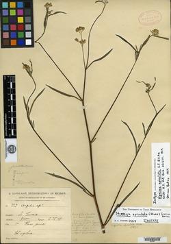Image of Aldama apiculata