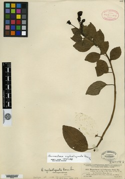 Burmeistera cyclostigmata image