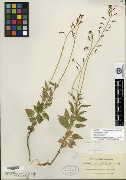 Image of Lobelia aurita