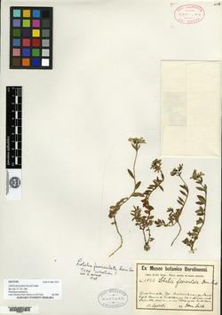 Image of Goodenia fasciculata