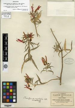 Lobelia laxiflora image