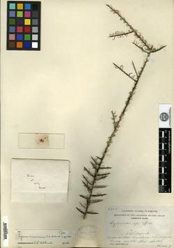 Lycium minimum image