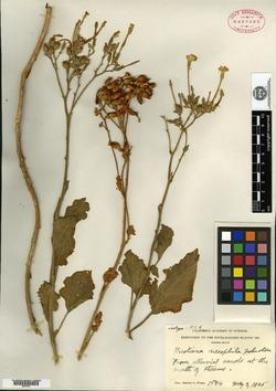 Image of Nicotiana nesophila