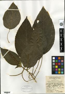 Image of Acalypha mortoniana