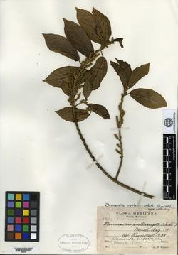 Image of Bernardia oblanceolata