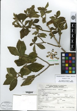 Image of Bernardia laurentii