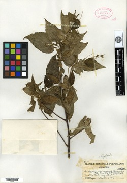 Image of Acalypha chiapensis