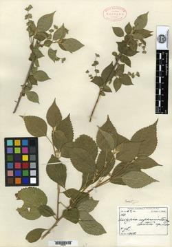 Image of Acalypha euphrasiostachys