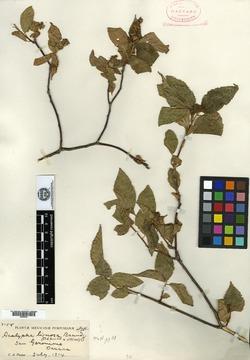 Image of Acalypha lignosa