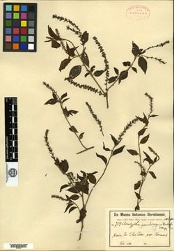 Image of Acalypha pseudovagans