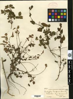 Image of Acalypha purpusii