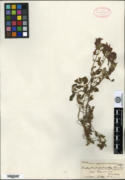 Image of Acalypha sabulicola