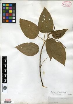 Image of Acalypha elliptica
