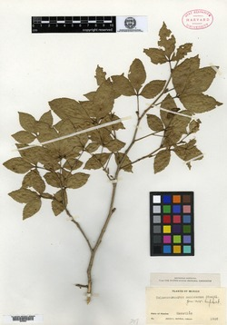 Image of Celaenodendron mexicanum