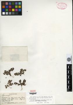 Image of Euphorbia leonardii