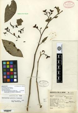 Image of Euphorbia dressleri