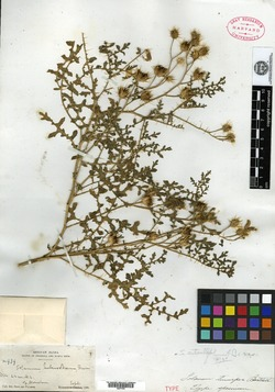 Image of Solanum tenuipes