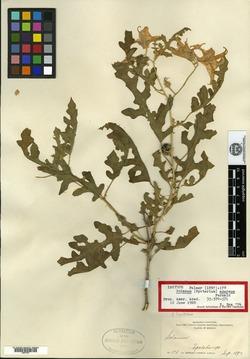 Image of Solanum azureum
