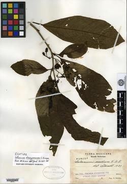 Image of Solanum dasyneuron