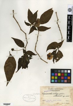 Image of Lycianthes quichensis