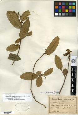 Solanum pachyneurum image