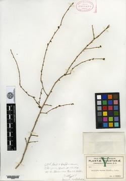 Image of Acalypha gaumeri